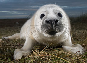 Gray Seal (Halichoerus grypus) Photography by Laurent Geslin